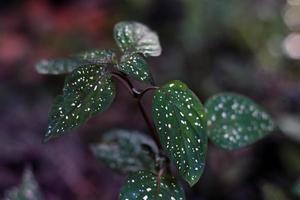 Hypoestes phyllostachya or polka dot plant photo