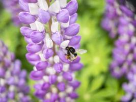 primer plano, de, un, abeja, en, un, flor violeta foto