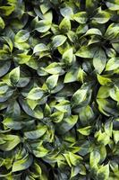Texture of ivy leaves close-up