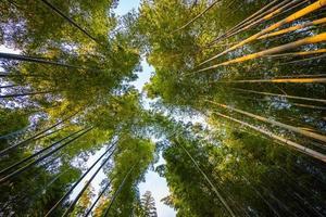 Bamboo trees at Arashiyama, Kyoto, Japan photo