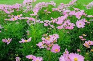 flores rosadas del cosmos foto