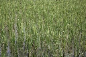 Green rice field photo