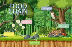 concepto de diagrama de la cadena alimentaria en el fondo del bosque vector