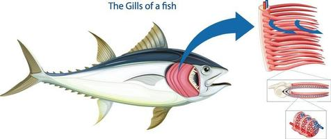 Diagram showing the grills of a fish vector