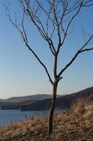 Seascape of a bare tree on a hill next to body of water in Vladivostok, Russia photo