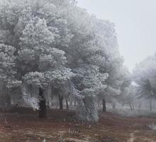 Un bosque de pinos congelado una mañana de invierno en Castilla