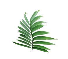 Hoja verde de una palmera aislado sobre un fondo blanco. foto