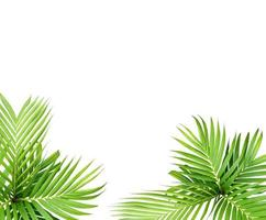 Green leaf of a palm tree isolated on a white background photo