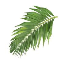 hoja de palma aislada en un fondo blanco foto
