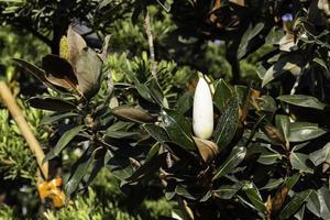 Magnolia tree and bud