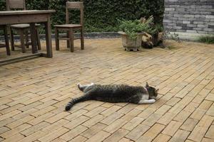Domestic cat lying outside