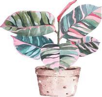 Ficus elastica watercolor 1 vector