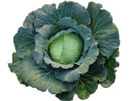 Fresh growing green cabbage on a white background photo