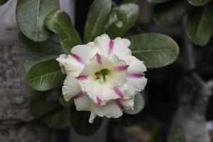 Pink and white garden flower photo