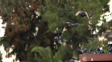 pombos da cidade voando no parque em câmera lenta
