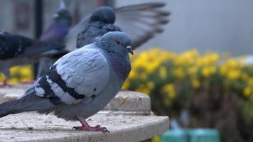 pombo em uma superfície de mármore olhando ao redor com pombos voando no fundo