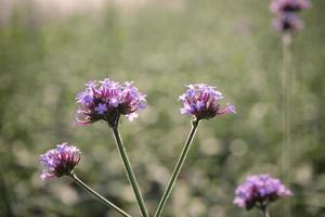 flor violeta en el campo