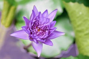 Purple lotus flower with yellow pollen photo