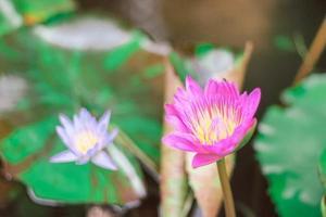 flor de loto morada con polen amarillo