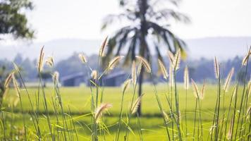 Wild grass close-up with harvest yellow field background photo