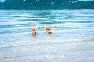 Golden retriever dogs relaxing and playing in the sea
