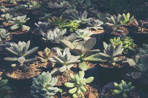Group of succulents photo