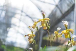 Paphiopedilum orchid flowers photo