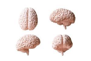 Modelo anatómico de un cerebro humano aislado sobre un fondo blanco. foto