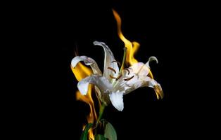 Lily flower on fire photo