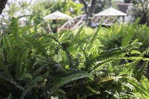 Green ferns in a garden in summer photo