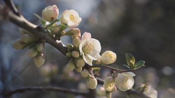 cinemógrafo de una rama de árbol en flor. video