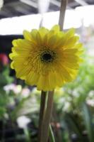 flor amarilla afuera foto