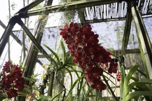 Red orchid in a garden photo