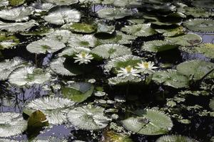 Lily pads in a pond photo