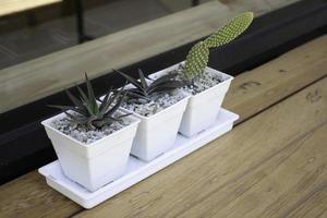 Cacti in white pots photo
