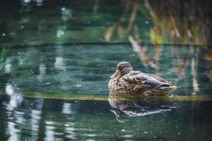Mallard duck resting in a pond photo