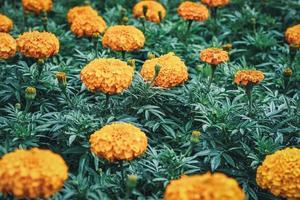 Flores y capullos de caléndula africana en un jardín. foto