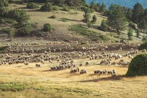 Flock of sheep grazing in the field photo