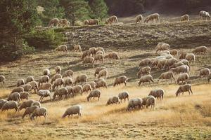 Flock of sheep grazing in the field