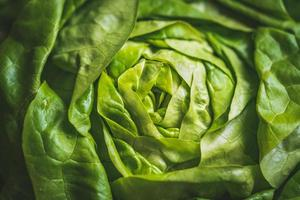 Green and fresh leaves of an organic Butterhead lettuce