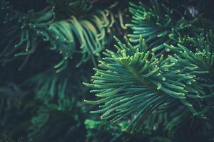 Hojas de aguja de pino de la isla de Norfolk foto