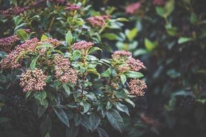 Capullos de un arbusto Viburnum tinus foto