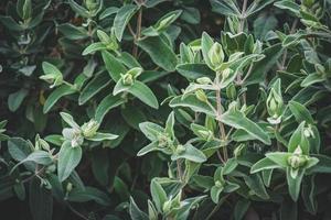hojas perennes de un arbusto de rosa de roca foto