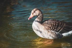 Goose taking a sunbath in a lake photo