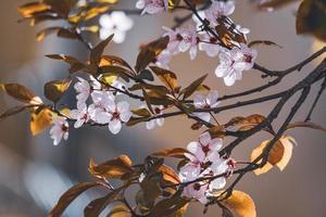 flores de ciruelo a principios de primavera foto