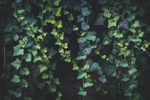 Evergreen leaves of climbing ivy