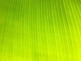 Banana leaf texture background photo