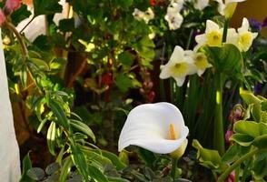 Foto de primer plano de una flor de lirio de cala, Zantedeschia aethiopica