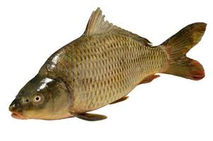 carpa de pez cyprinus carpio foto