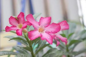 simulacros de azaleas en el jardín foto